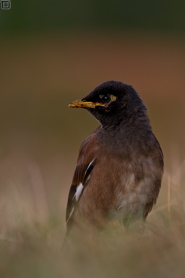 Photograph Common Myna by Thejaswi GVN on 500px