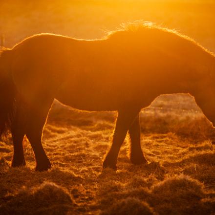 Icelandic Horse at Sunset