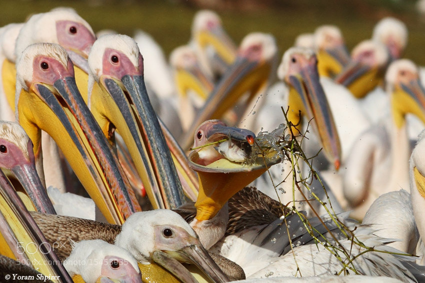 Photograph White Pelican by Yoram Shpirer on 500px
