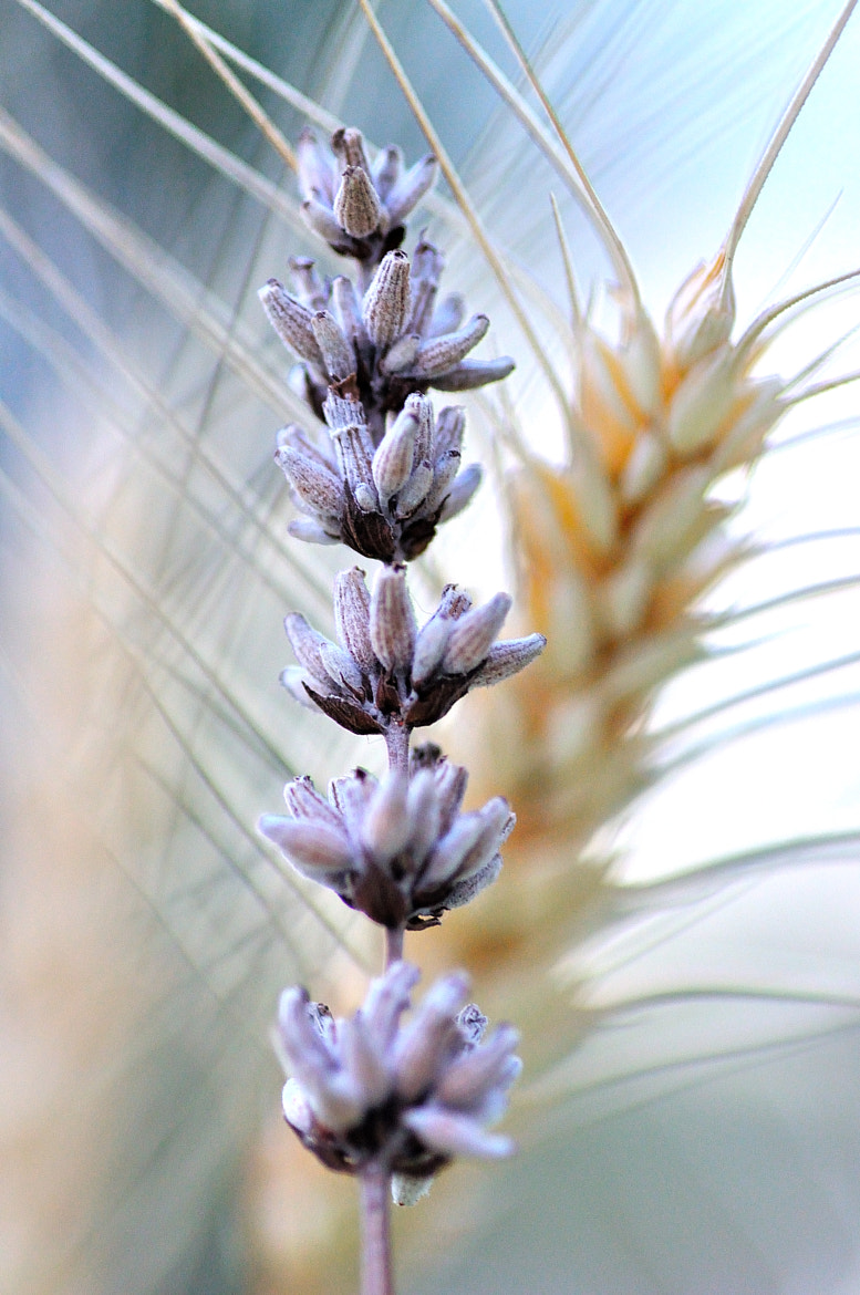 Photograph Lavender by Claudia Auringer on 500px