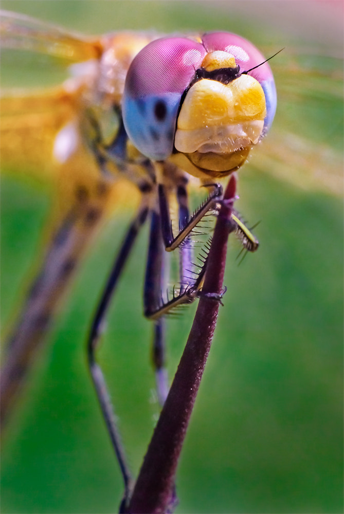 Photograph Dragonfly by Elisa Frediani on 500px
