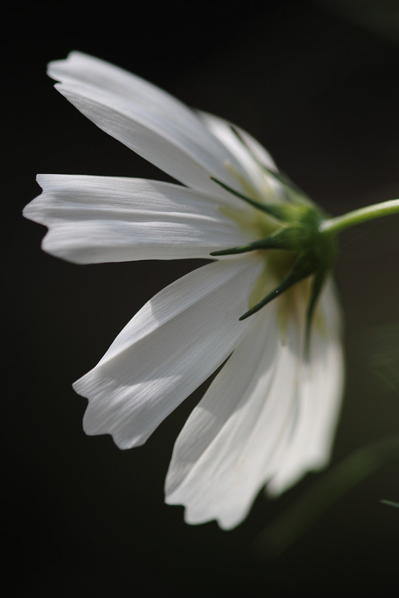 Photograph White cosmos by marbee .info on 500px