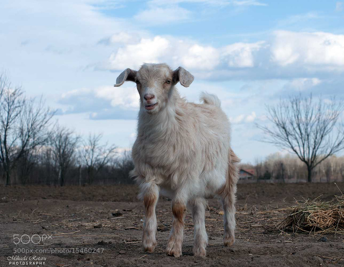 Photograph baby goat by Mihaela Rotaru on 500px