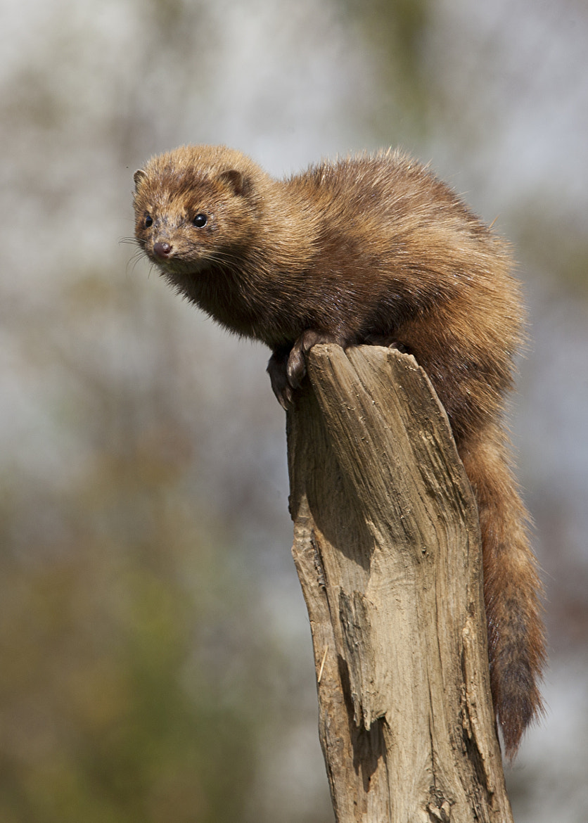 Photograph The American Mink by Jo Hopgood on 500px