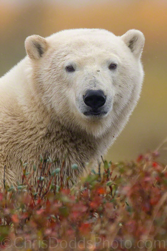 Photograph Polar Portrait by Christopher Dodds on 500px