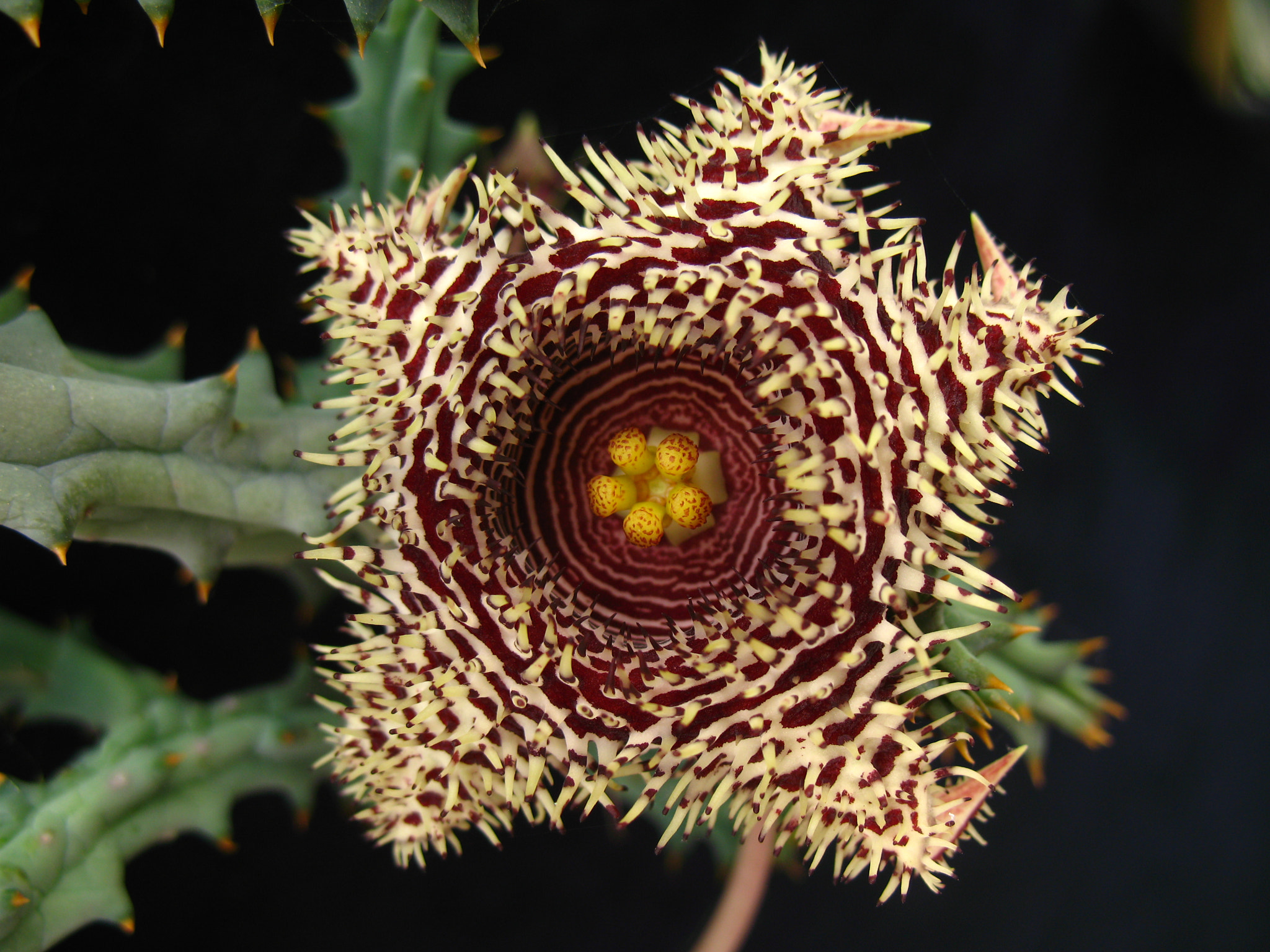 Photograph Huernia histerix by ali kangal on 500px
