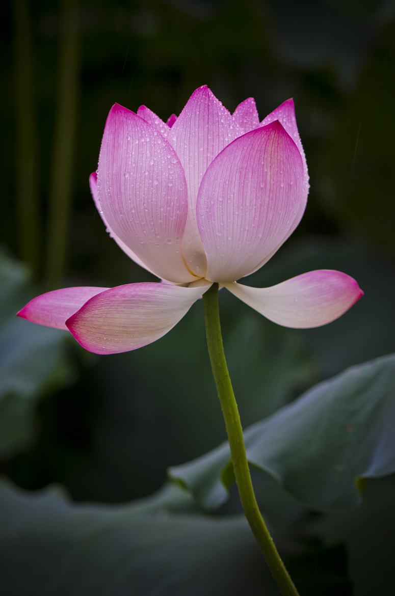 Photograph Lotus by Amar Rai on 500px