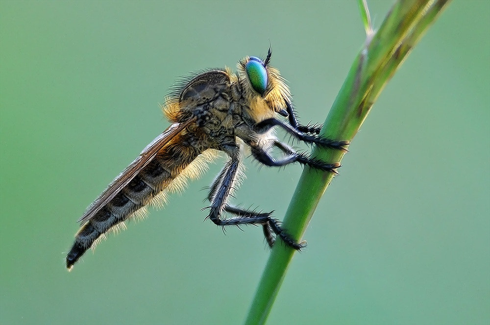 Photograph robberfly by raj dhage on 500px