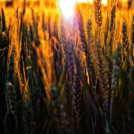 Sun and wheat, Canon EOS 1000D, Canon EF 135mm f/2.8 Soft