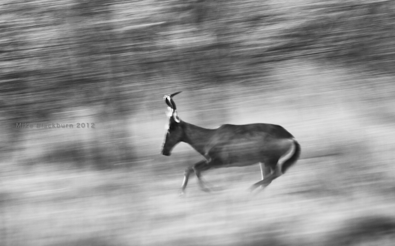 Photograph Running Hartebees by Mike Blackburn on 500px