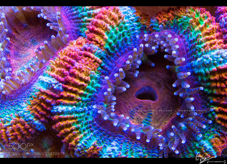 Photograph Coral by Virginia Wilhelmer on 500px