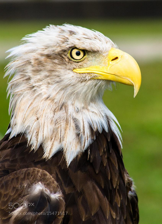 Photograph Bald Eagle by Alfonso Silóniz on 500px
