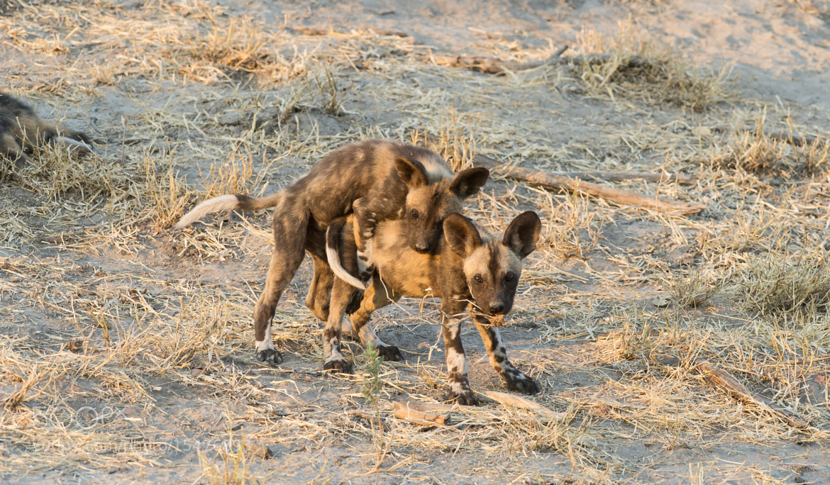 Photograph Wild dog puppies by Hari Santharam on 500px