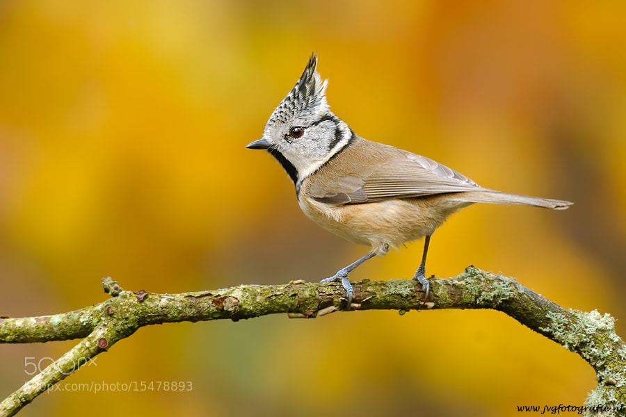 Photograph Kuifmees/ Crested tit by Johan van Gool on 500px