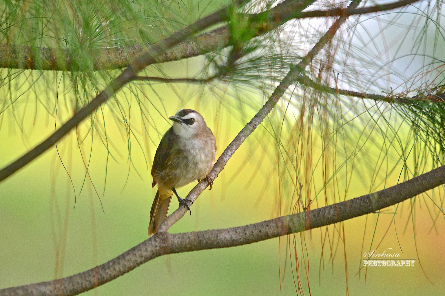 Photograph Yellow Vented Bulbul by Richard Lim on 500px