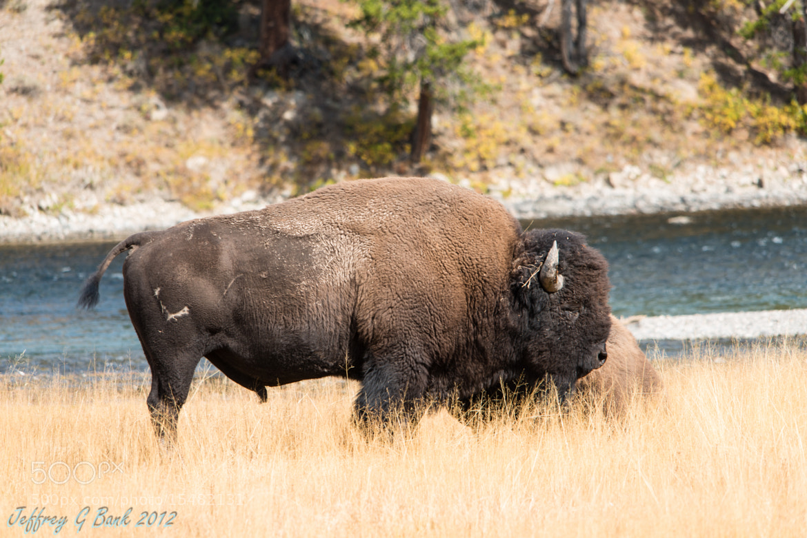 Photograph Yellowstone Bison by Jeffrey Bank on 500px