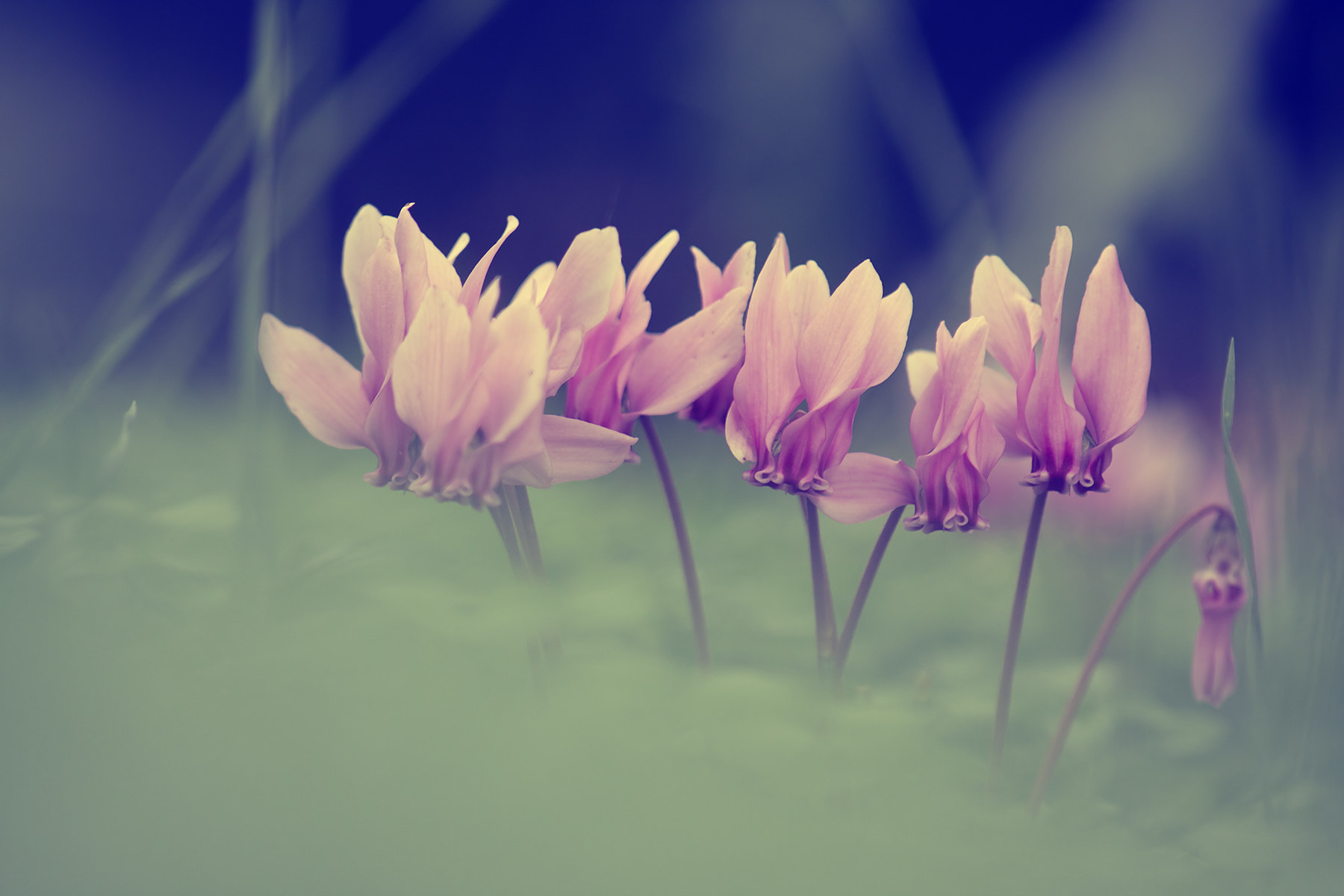 Photograph Ciclamini - Cyclamens by stefania mignardi on 500px