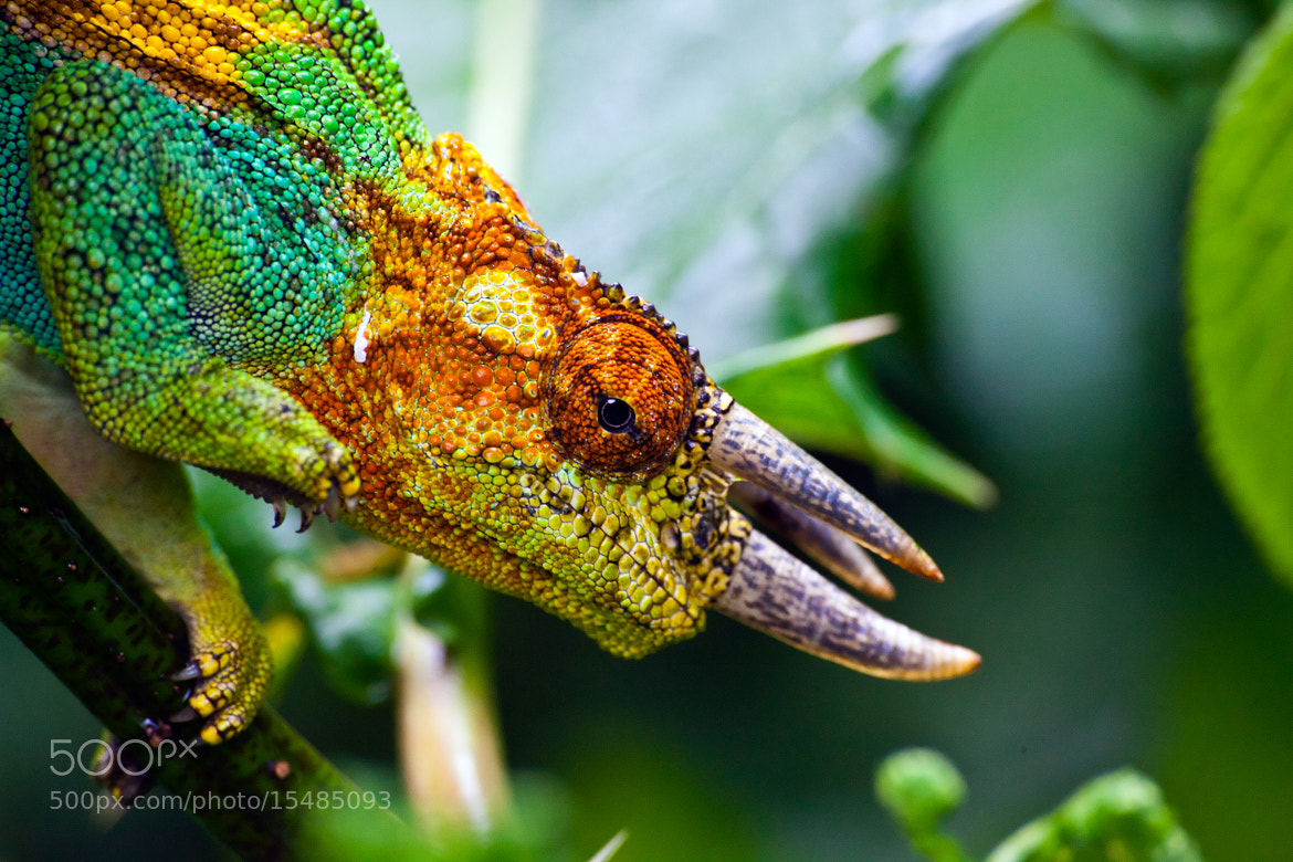 Photograph Rwenzori Three-horned Chameleon by Christopher Kidd on 500px