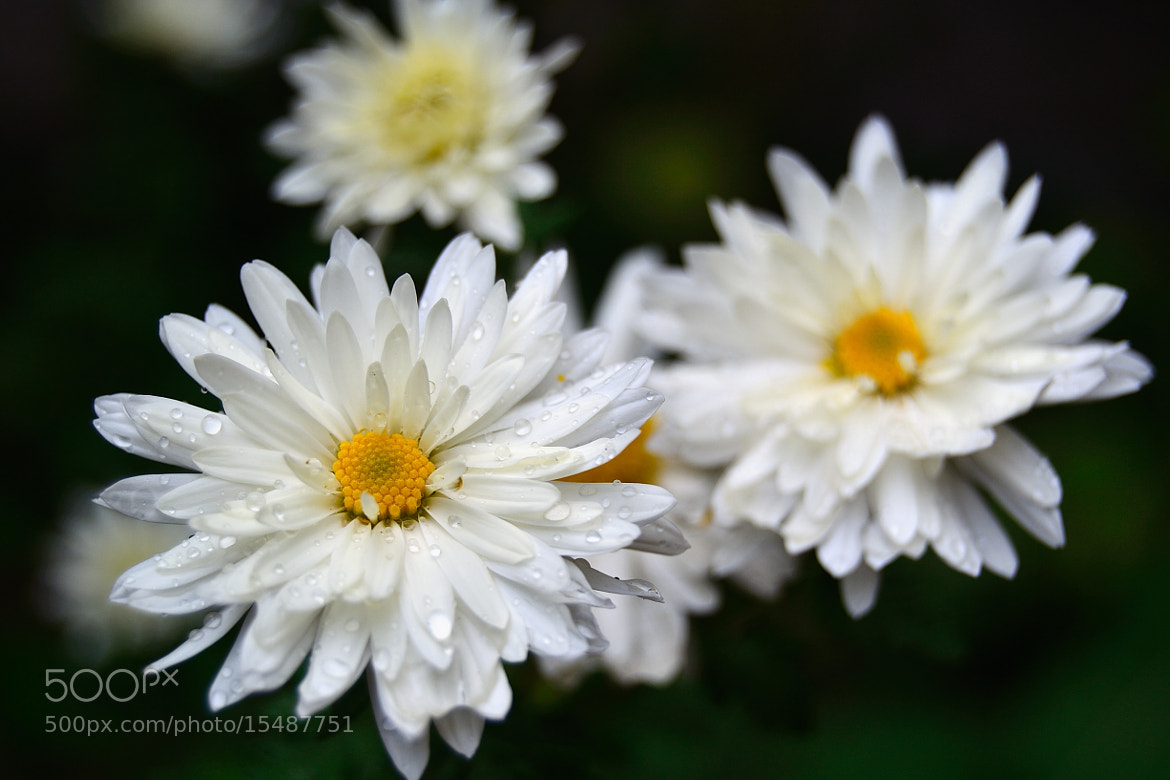 Photograph autumn daisies I by _okan  ___ on 500px