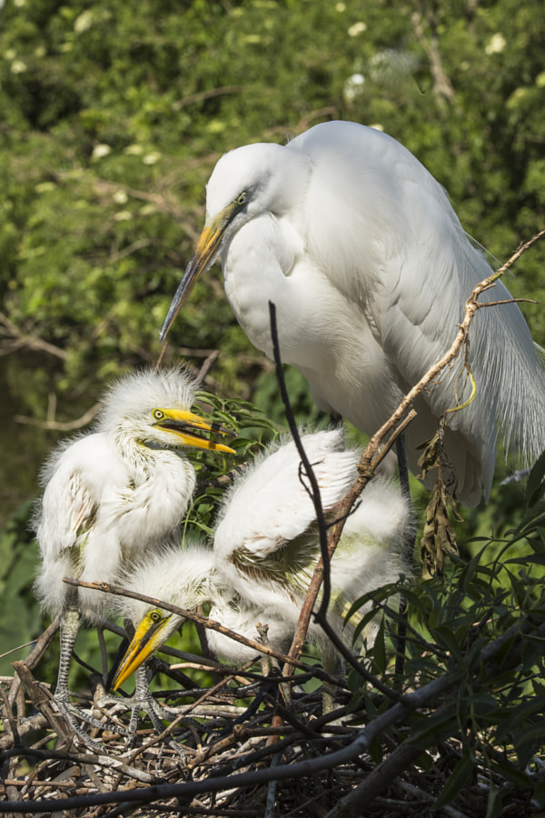Snowy Egret with chicks