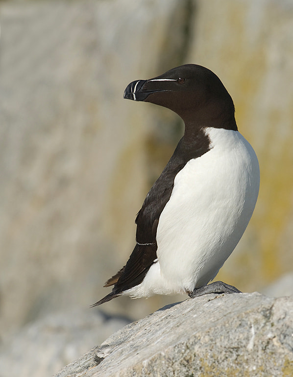 Photograph RAZORBILL by Joe Iocco on 500px