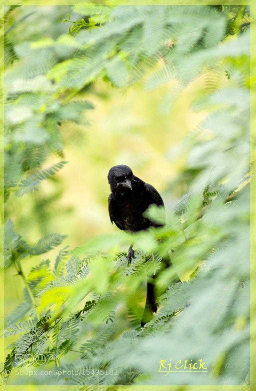 Photograph Black Drongo by Rahul Jain on 500px
