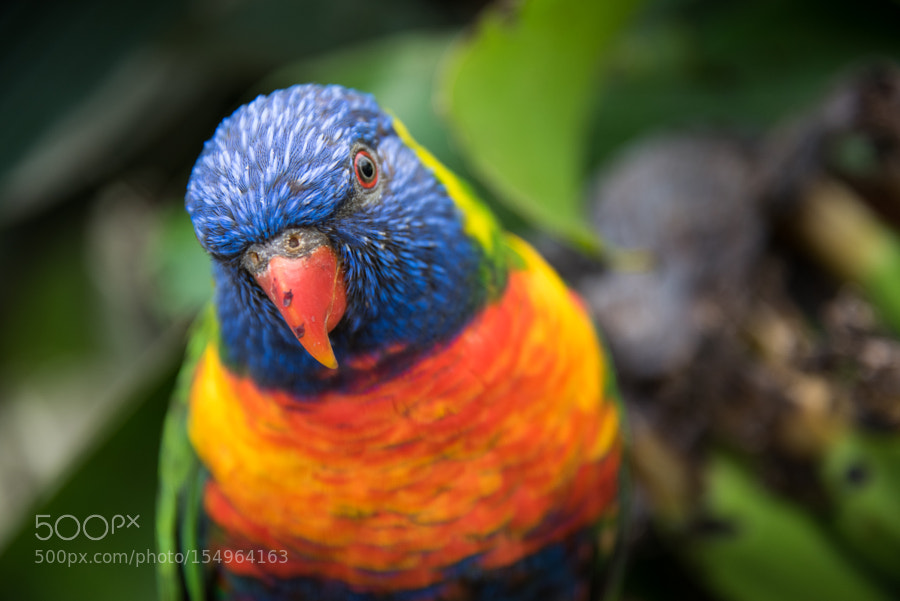 Rainbow lorikeet by billardraphael