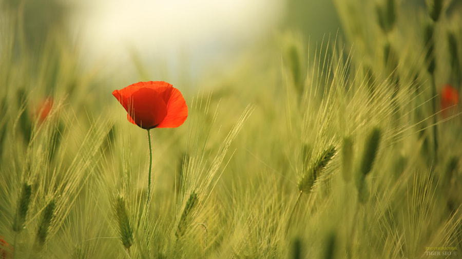 Poppy & Barley by Tiger Seo on 500px.com