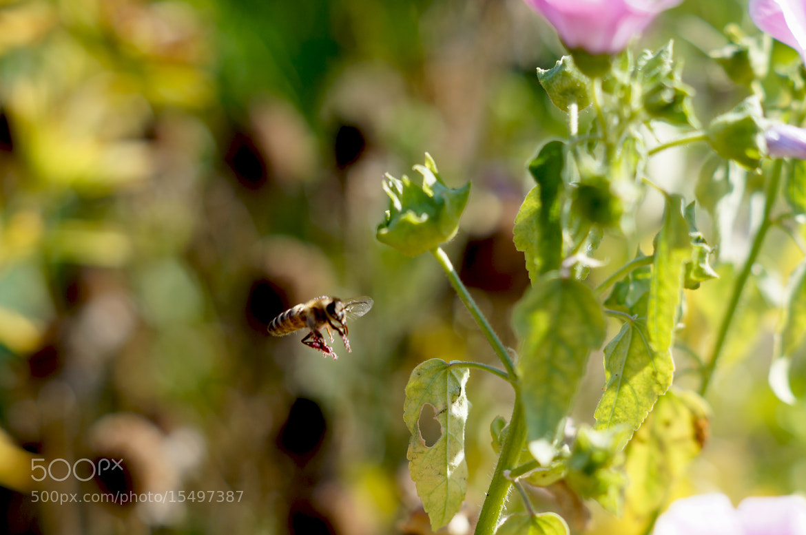 Photograph bee by Krasimir Hintolarski on 500px