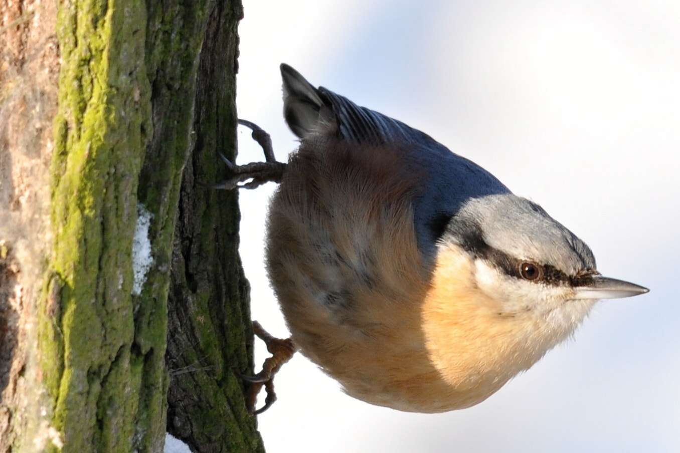 Photograph Wood nuthatch (Sitta europea) by Přemysl Škaloud on 500px