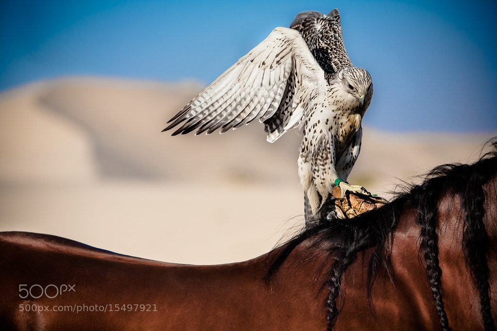 Photograph Falcon Pride by omar alzaabi on 500px
