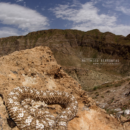 The Spider-tailed horned viper, Sony ILCE-7M2, Sigma 15mm F2.8 Fisheye