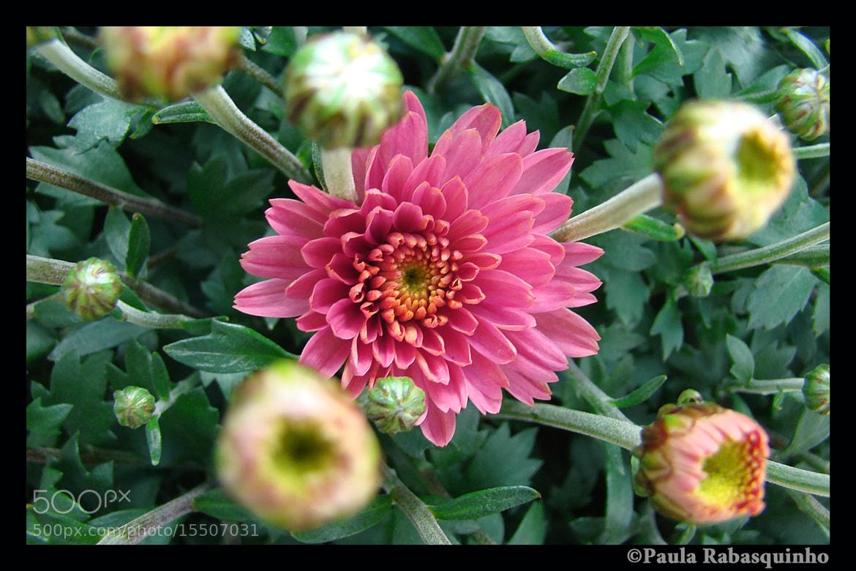 Photograph Chrysanthemum by Paula Rabasquinho on 500px