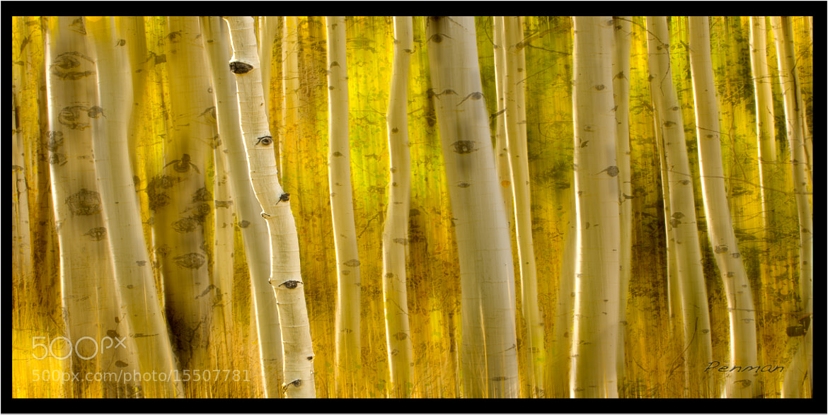 Photograph Shaking Aspens by Dustin Penman on 500px