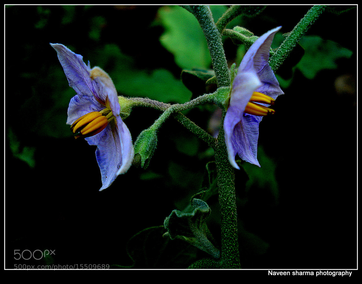Photograph Brinjal flora by naveen sharma on 500px