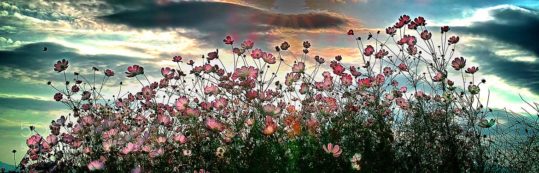 Photograph Cosmos Are Beautiful Flowers! by Jeong-Keun Kim on 500px