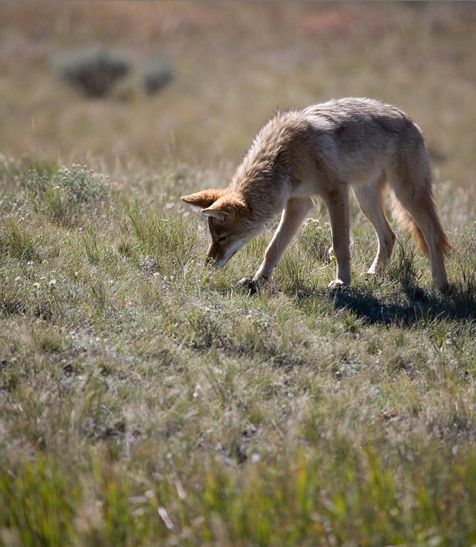 Photograph Curious Coyote by Frank Hatcher on 500px