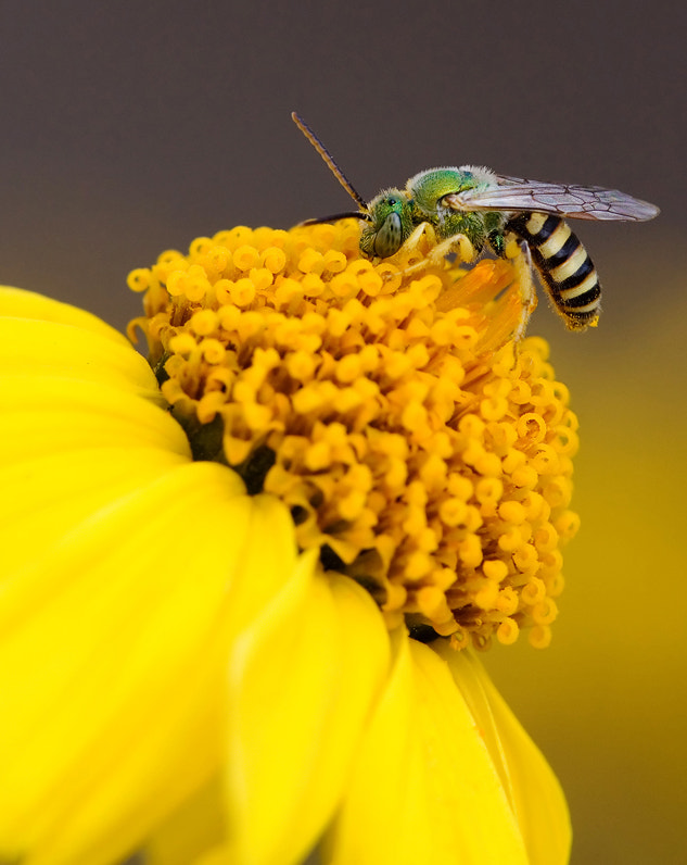 Photograph Metallic Sweat Bee by Frank Hatcher on 500px