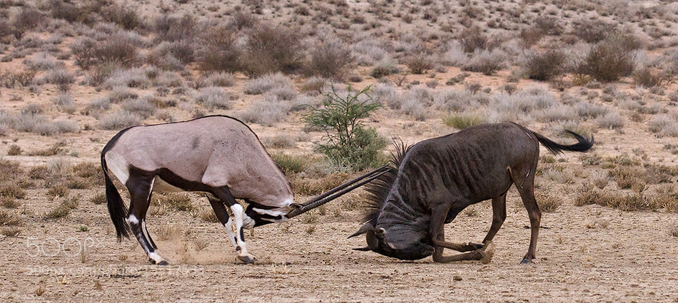 Photograph The Bull and the Matador by Morkel Erasmus on 500px