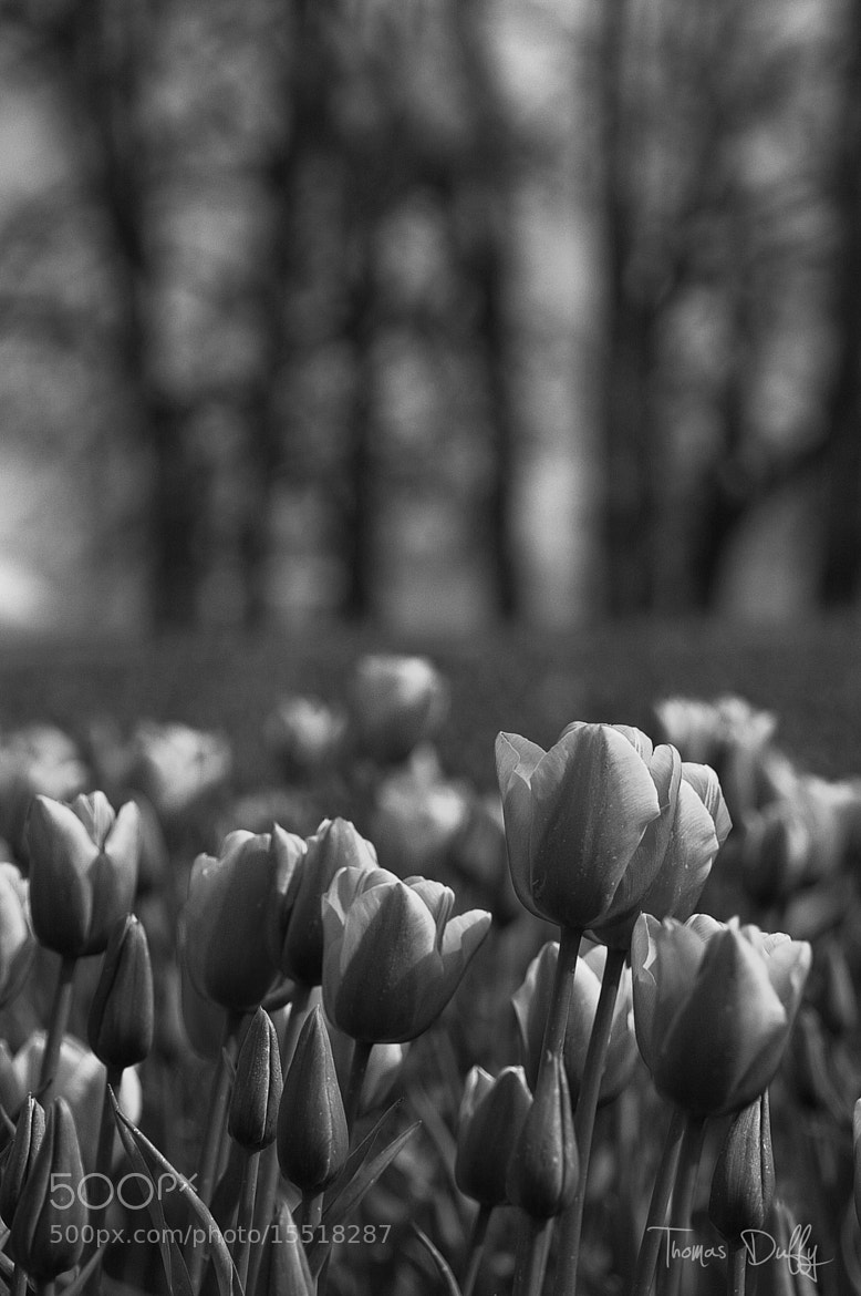 Photograph Tulips in black and white by Thomas Duffy on 500px