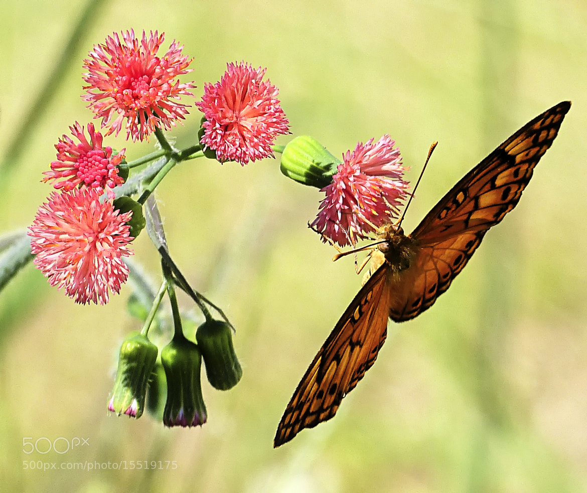 Photograph Passion Butterfly by Pedro Henrique Evangelista on 500px