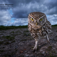 "A ""Funky"" wide angle Little Owl"