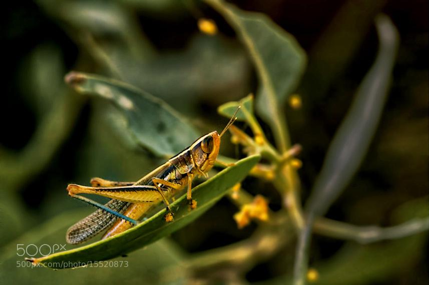 Photograph Grasshopper by Sanya Ad on 500px