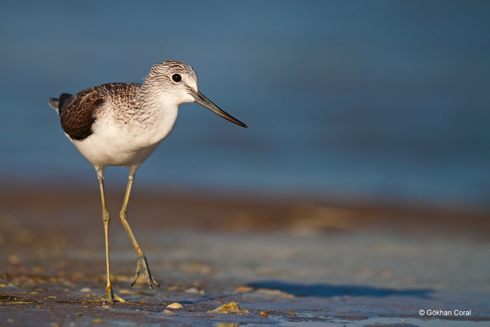 Photograph Greenshank by Gökhan CORAL on 500px