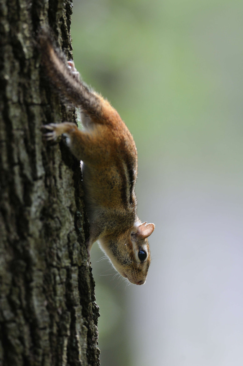 Photograph Chipmunk on tree by Kyle Reynolds on 500px