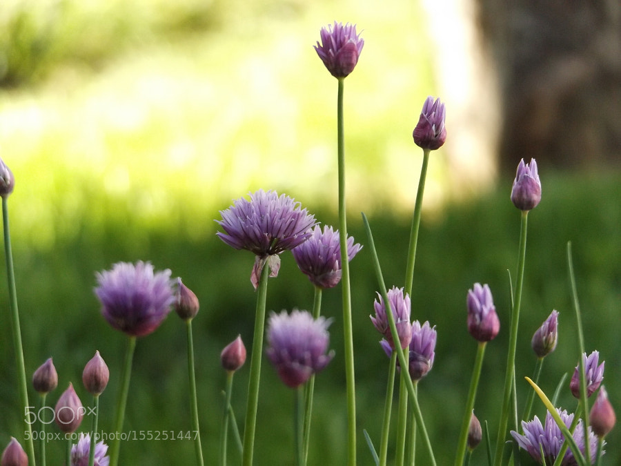 Simple. Confused chives.