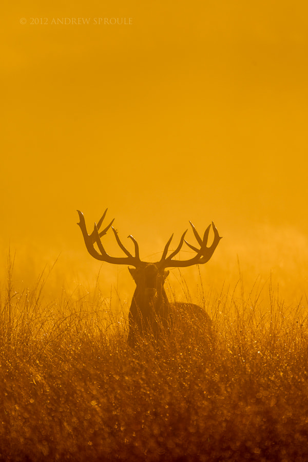 Photograph Rutting Red Deer stag at sunrise by Andrew Sproule on 500px
