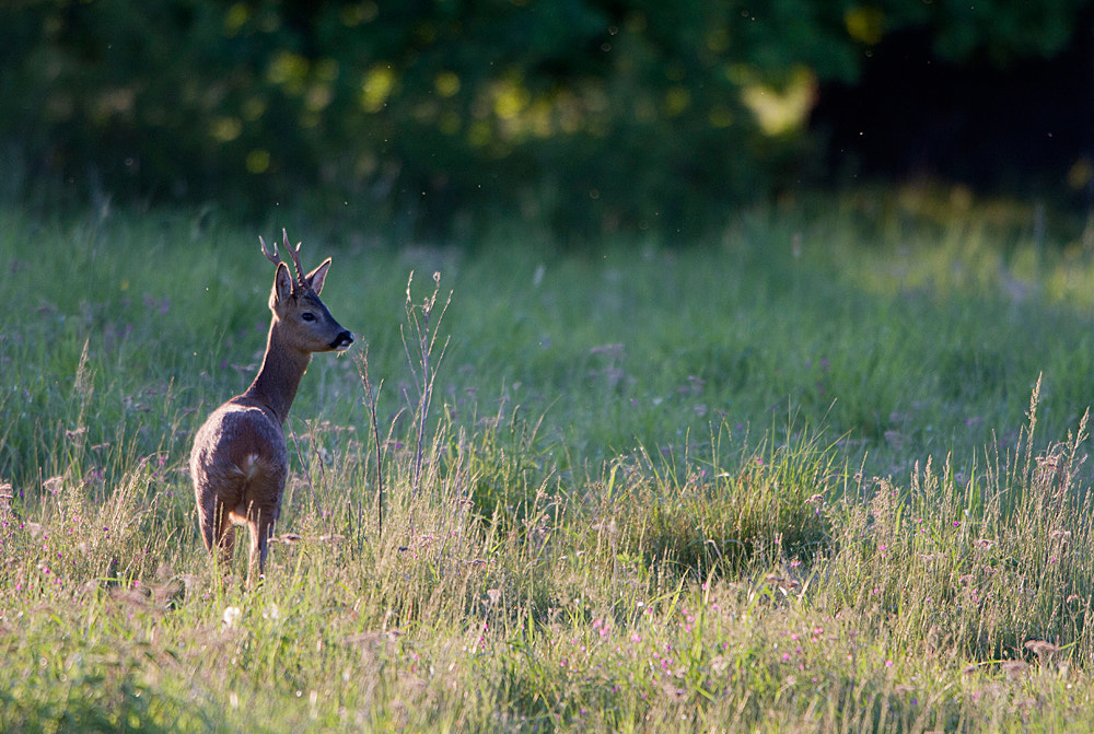 Photograph Roe deer by Ian Rolfe on 500px