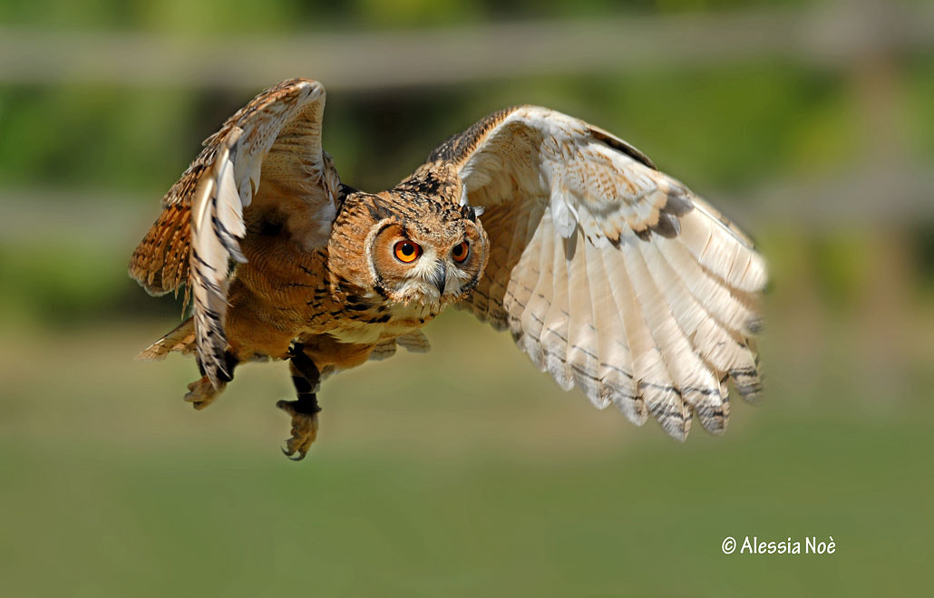 Photograph Owl in flight by Alessia Noè on 500px