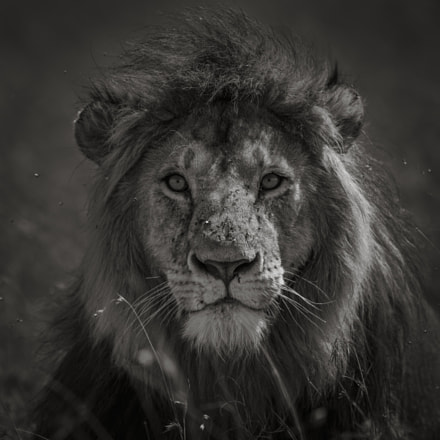 Portrait of a King, RICOH PENTAX 645Z, smc PENTAX-FA 645 400mm F5.6 ED [IF]